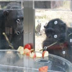 チンパンジーのお食事タイム